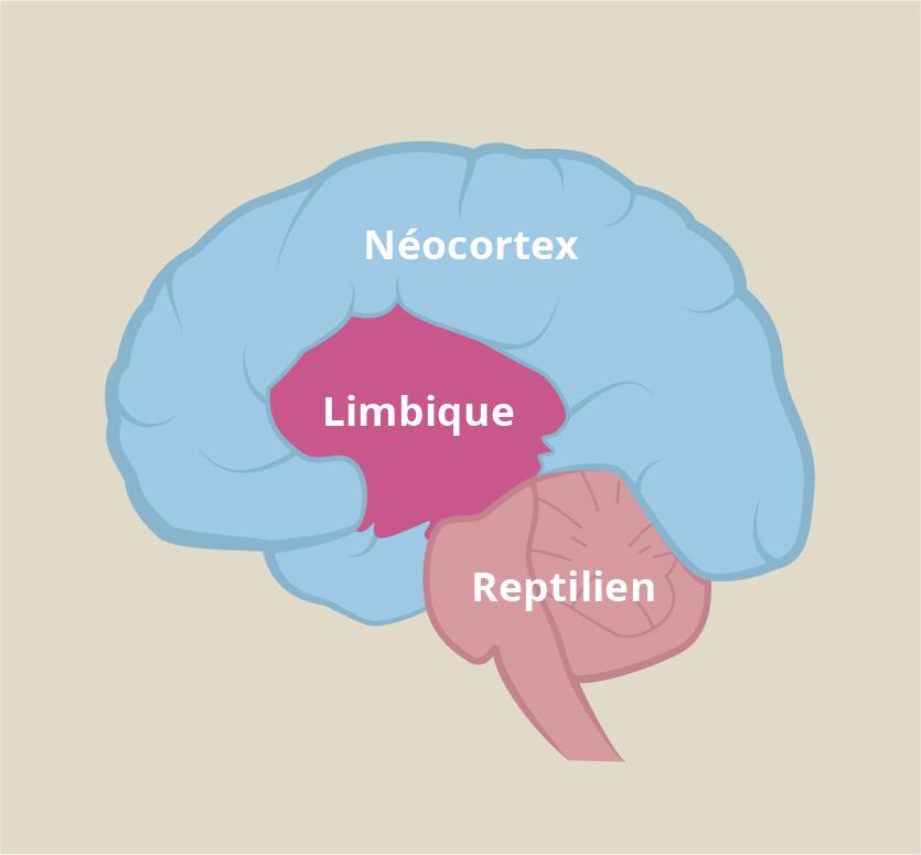 Néocortex, limbique, reptilien